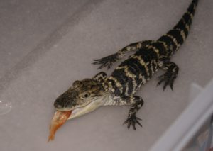 Beastie the Gator as a Baby