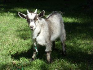 Boones the Goat