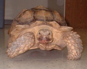 Goliath the Sulcata Tortoise
