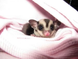 Lorenzo the Sugar Glider