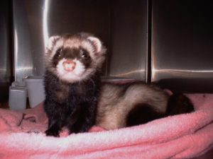 Tymone the Ferret