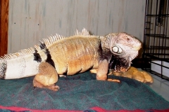Elliot-the-Iguana-has-Bladder-Stones