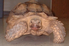 Goliath-the-Sulcata-Tortoise