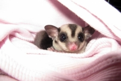 Lorenzo-the-Sugar-Glider