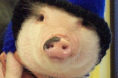 Peanut-the-Pot-belly-Pig