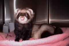 Tymone-the-Ferret