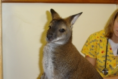 Waldo-the-Wallaby